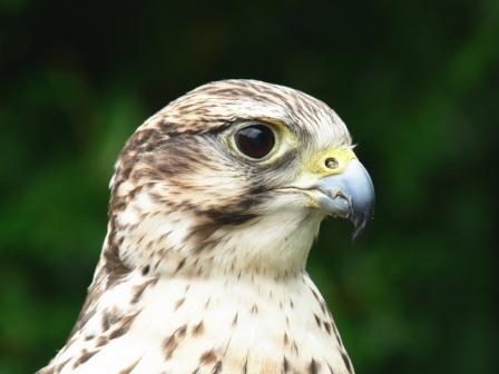 6695saker_falcon