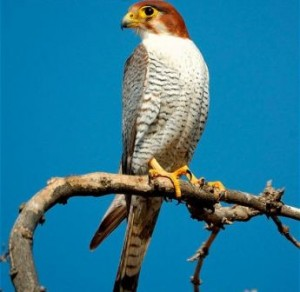 ARKive image GES062443 - Red-necked falcon