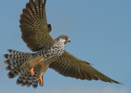Amur-Falcon-Mark-Drysdale