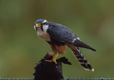 ARKive image GES051876 - Aplomado falcon