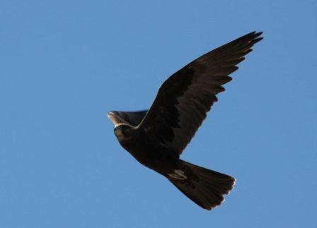 Black_Falcon_Denniliquin_1209__9_