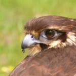 Halcón marrón
