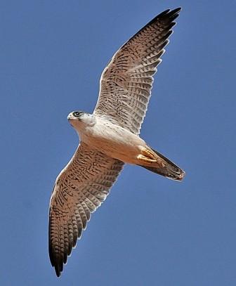 Grey Falcon