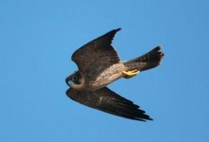ARKive image GES052281 - Sooty falcon