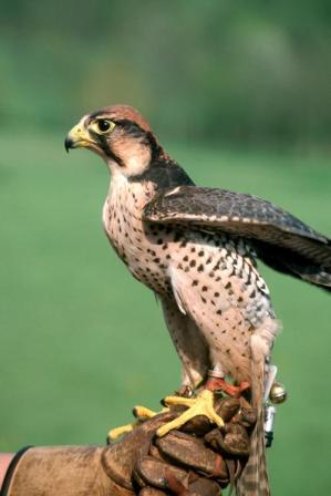 Lanner-Falcon14