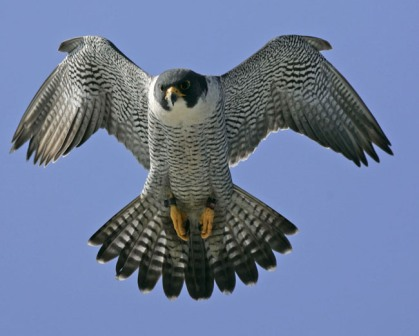 Peregrine Falcon Flight From Walt Whitman Bridge Camden & Philadelphia