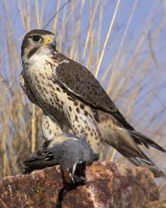 Prairie_Falcon_v11-18-009_l
