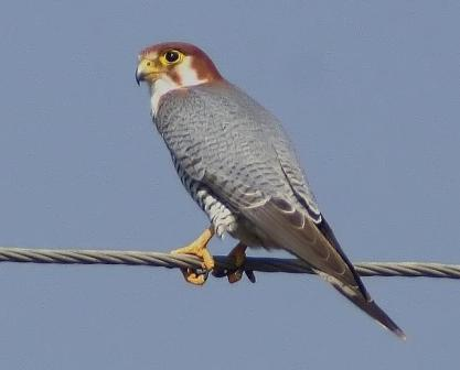 Red-Necked_Falcon1__VM_fine