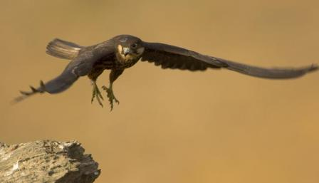 Eleonora's falcon (Falco eleonorae) flying, about to land on rock, Andros, Greece, 2008 WWE Mission: Eleonora's Falcon