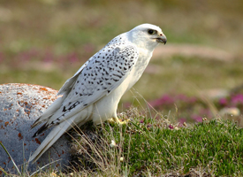gyrfalcon_glamor_andy_johnson