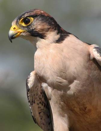 lanner-falcon_afb-0295g