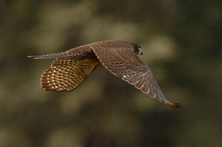 nz-falcon-large
