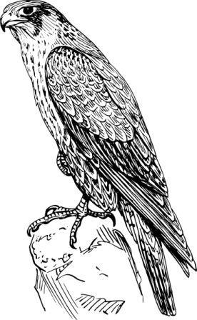 peregrine-falcon-hi