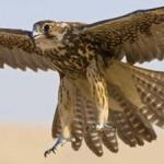 Vuelo del halcón peregrino
