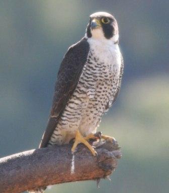 peregrine-falcon-madagascar