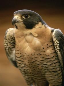 peregrine-falcon_659_600x450